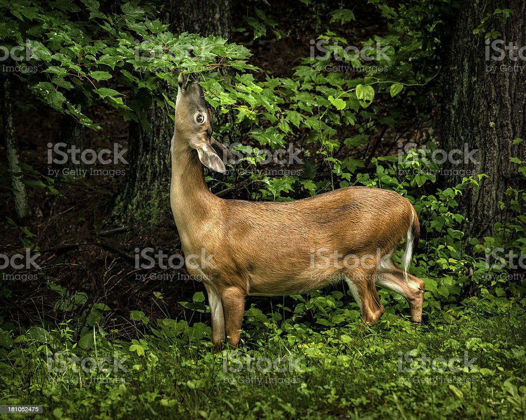 Deer Feeding On A Rainy Day royalty-free stock photo