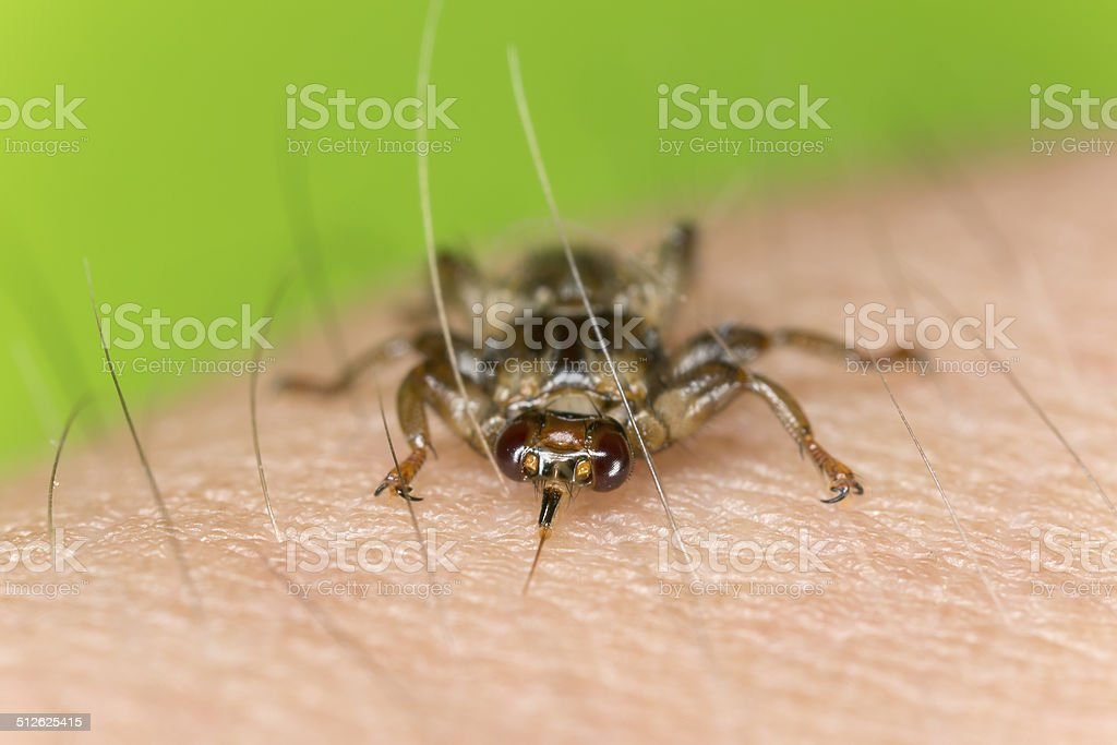 Deer fly, Lipoptena cervi crawling on human skin, extreme close-up stock photo