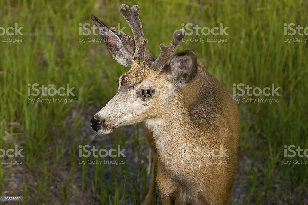 Deer, Glacier National Park royalty-free stock photo