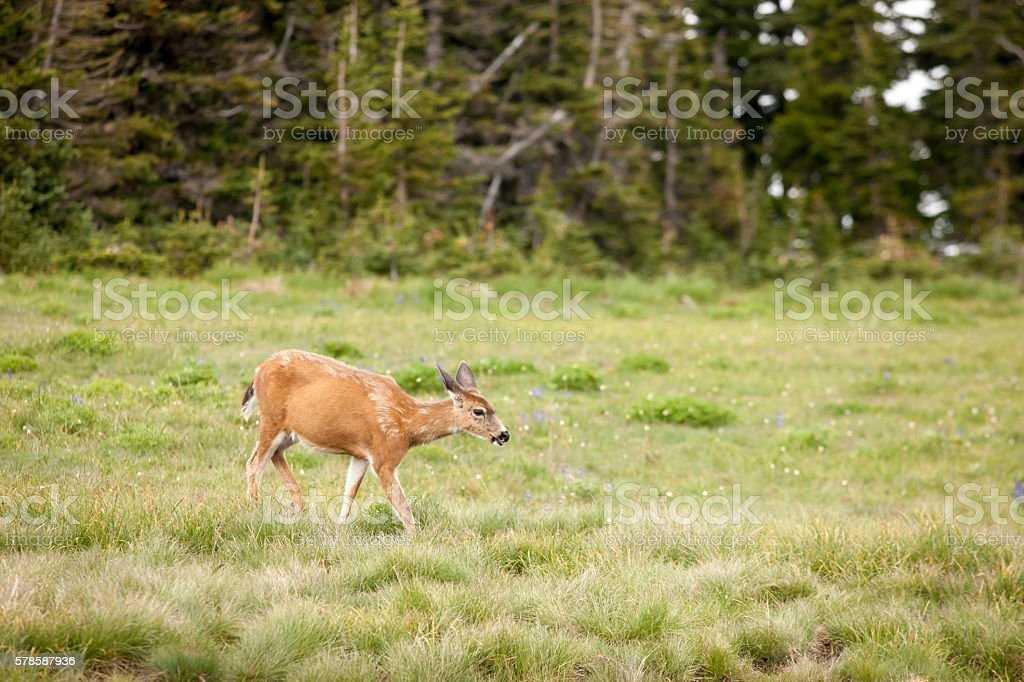 Deer grazes in the meadow. stock photo