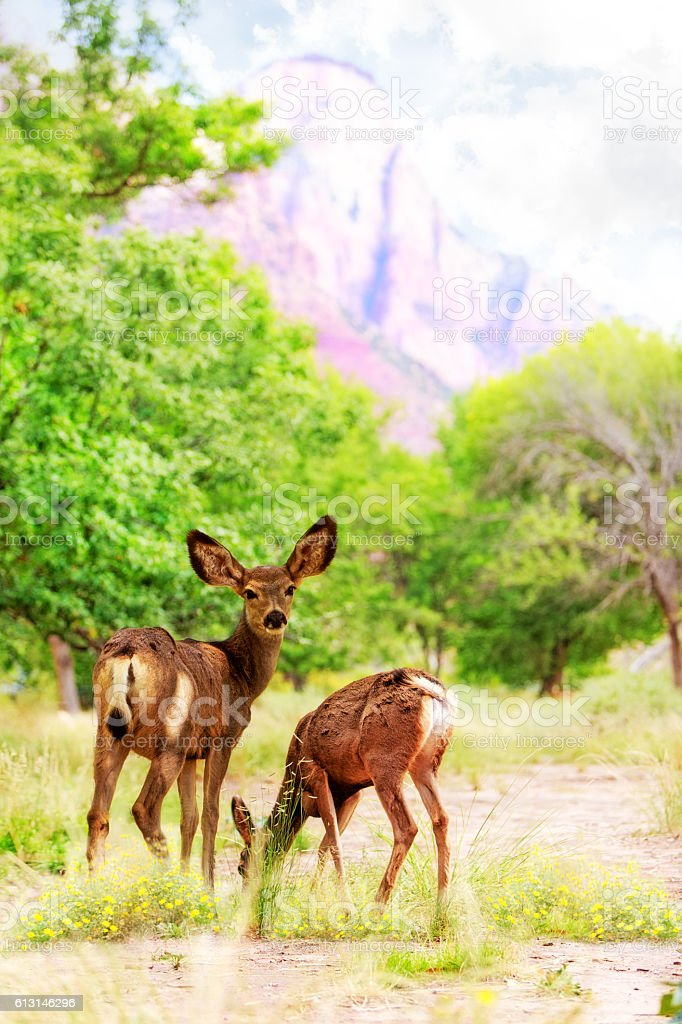 Deer Grazing on Wildflowers in Zion Canyon stock photo