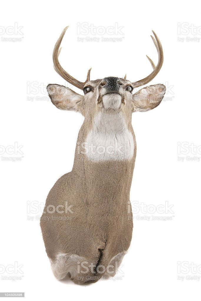 Deer head from the bottom of jaw royalty-free stock photo