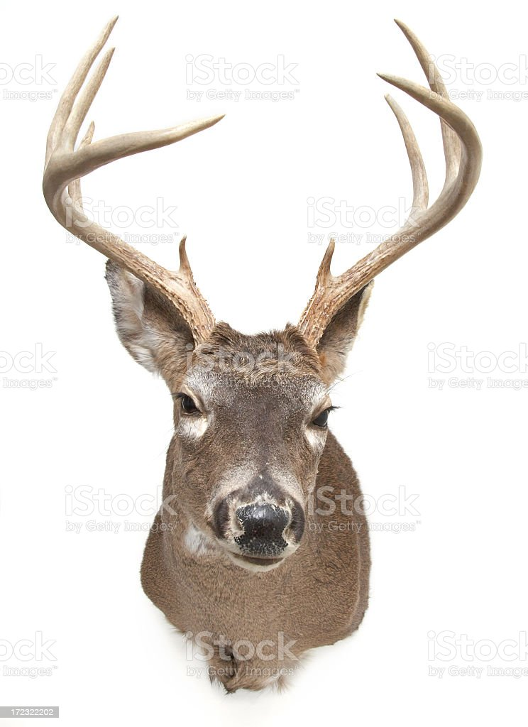 Deer Head isolated on white background stock photo
