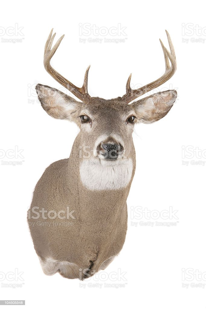 Deer Head stock photo
