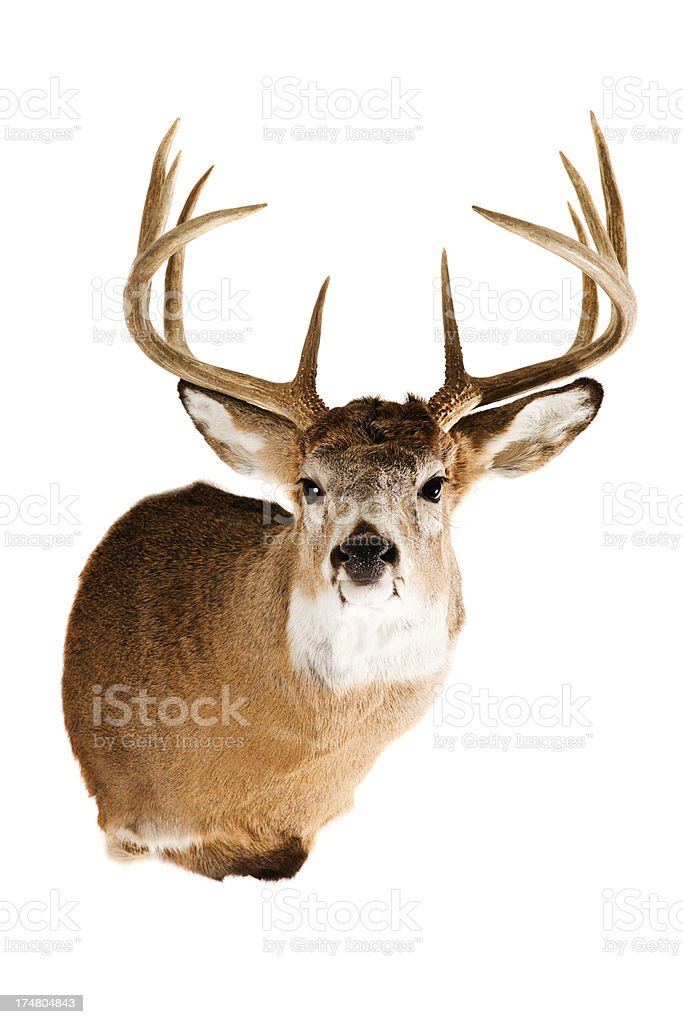 Deer Head royalty-free stock photo