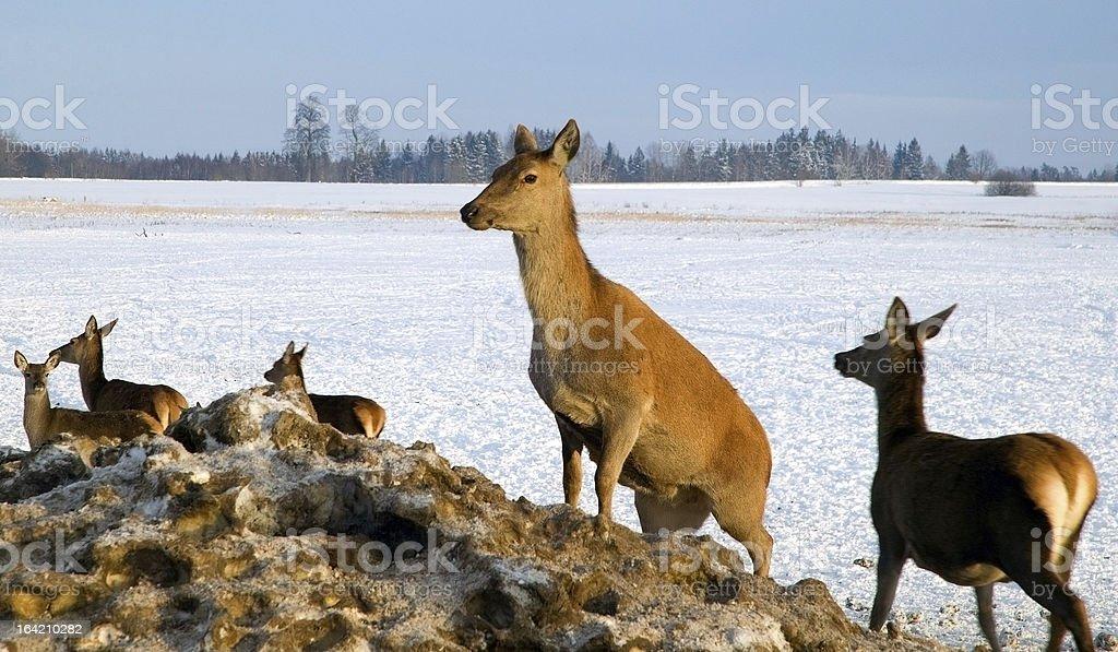Deer herd in winter royalty-free stock photo