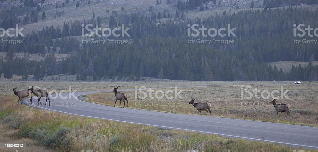 Deer Herd with Approaching Cars royalty-free stock photo