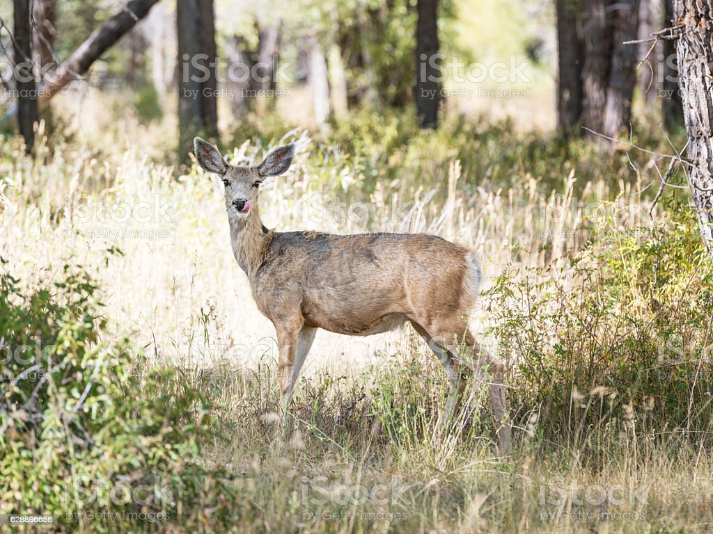Deer hiding in the Forest, Yellowstone National Park stock photo