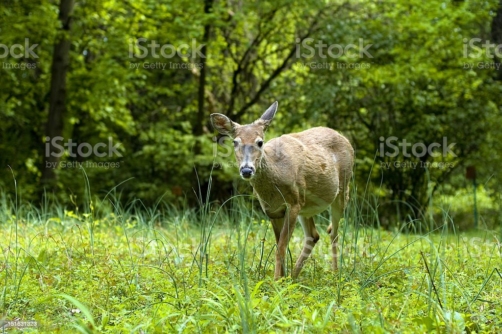 Deer in a Field stock photo
