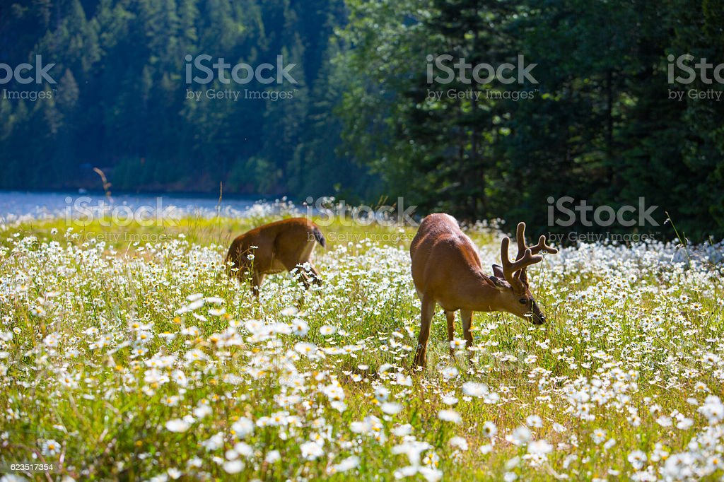 Deer in a Flower Field stock photo
