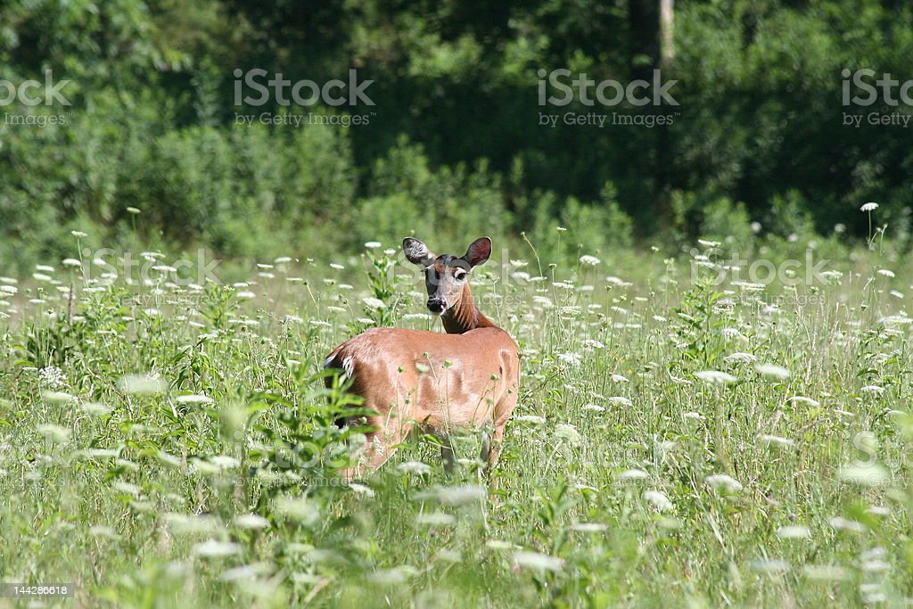 Deer In A Meadow royalty-free stock photo