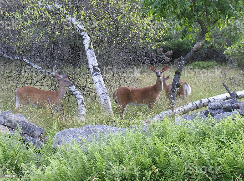 Deer in countryside stock photo