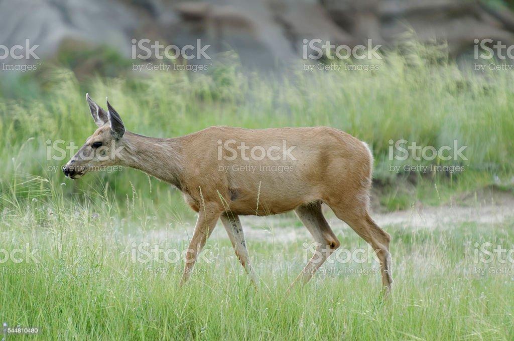 Deer in Dinosaur Provincial Park, Alberta stock photo
