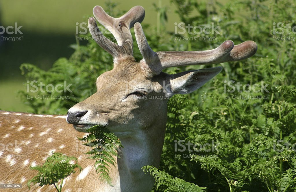 Deer in England royalty-free stock photo