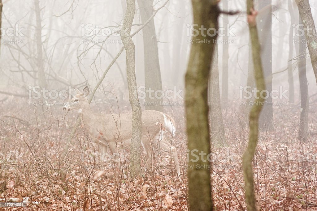 deer in fog stock photo