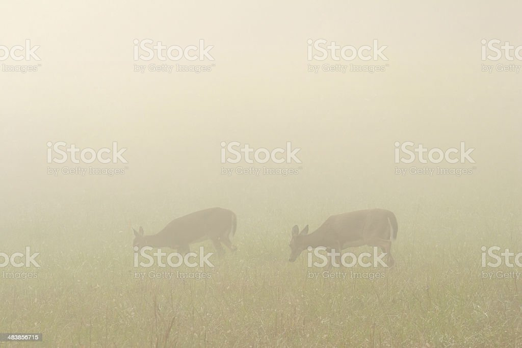 Deer in Foggy Field royalty-free stock photo