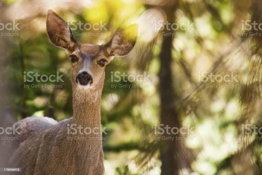 Deer in forest royalty-free stock photo
