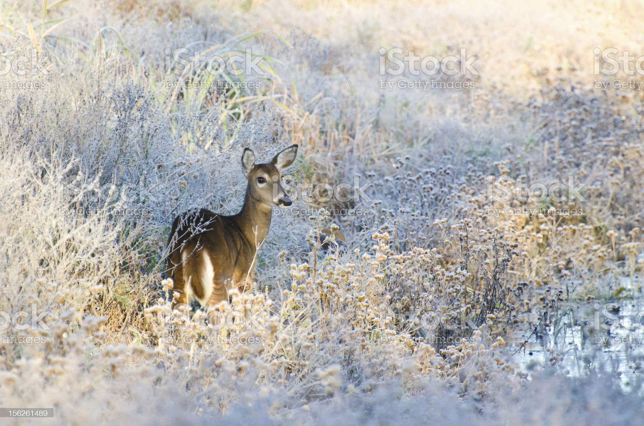 Deer in Frost Covered Marsh royalty-free stock photo