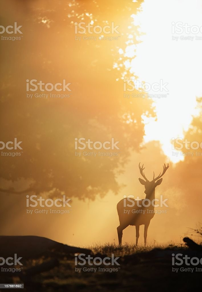 Deer in Golden Light stock photo