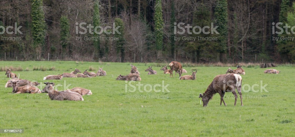 Deer in Gosford Forest Park stock photo