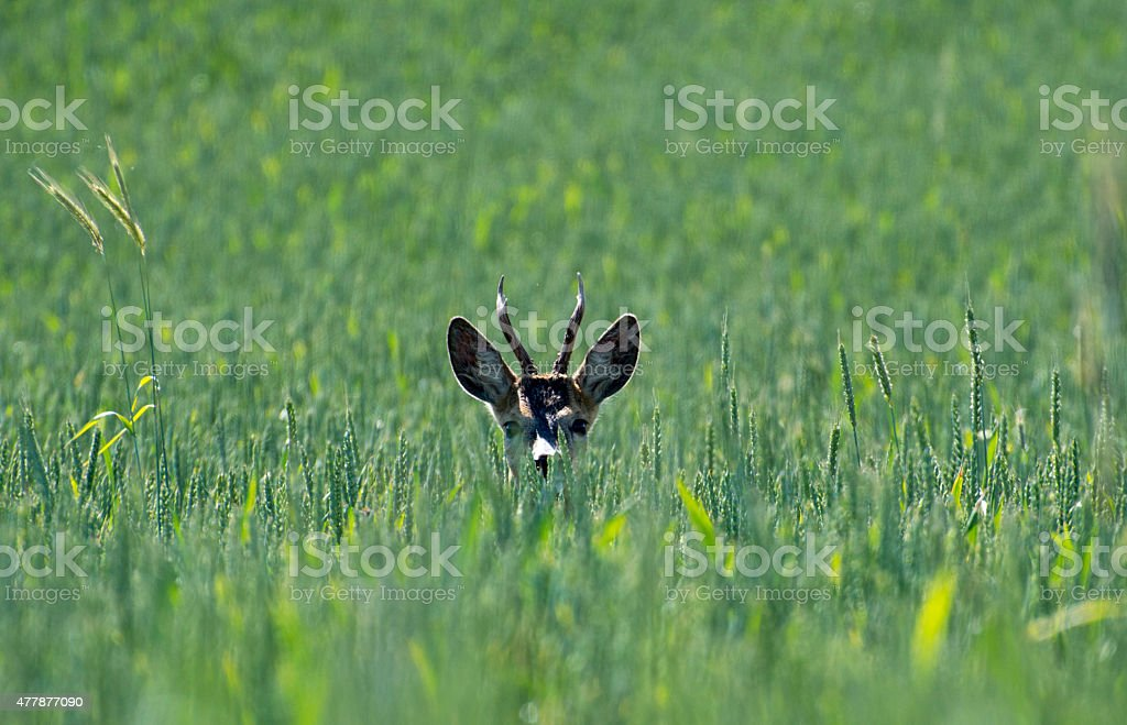 deer in green wheat stock photo