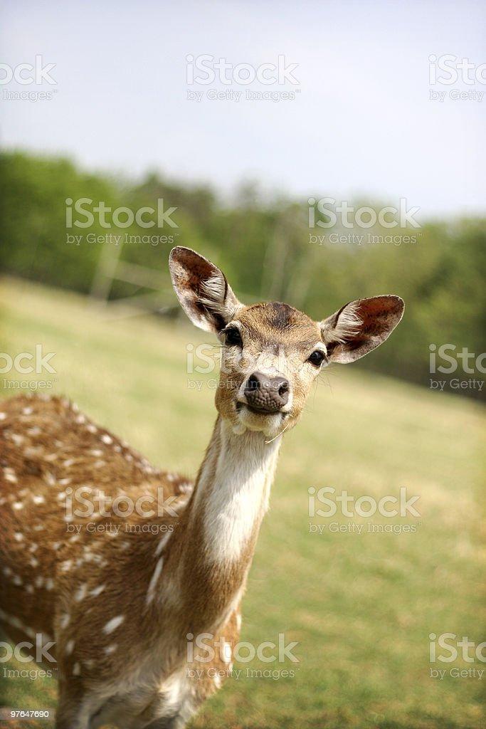 deer in headlights stock photo