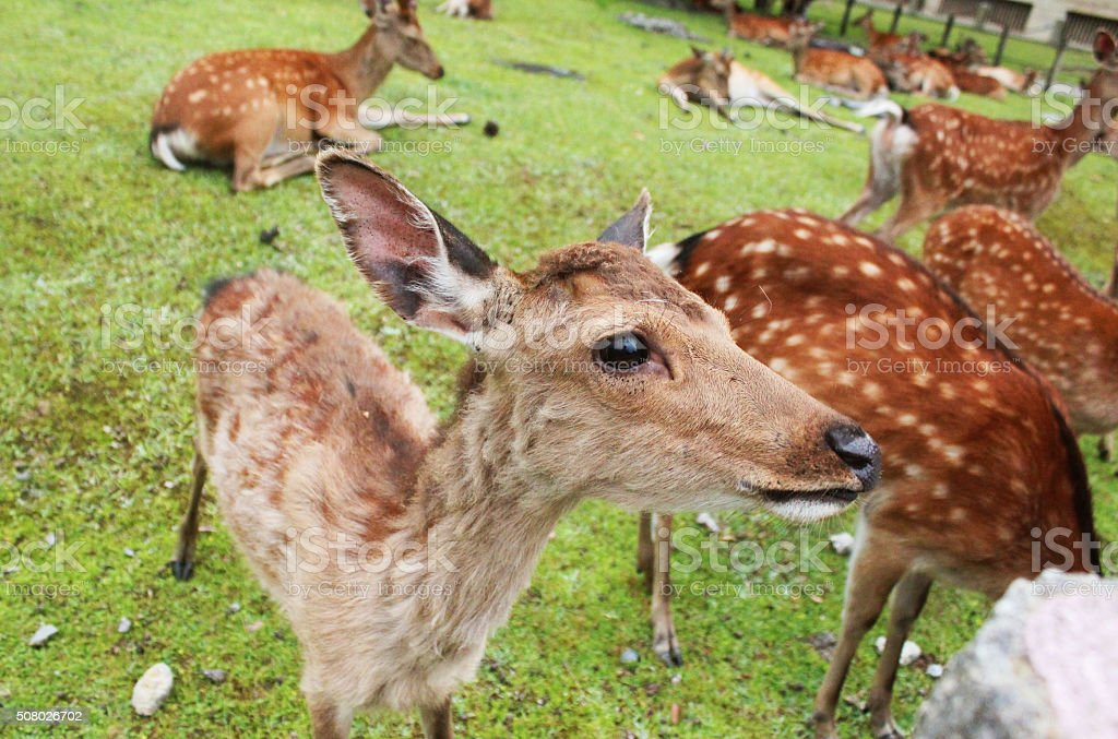 Deer in Nara, Japan stock photo