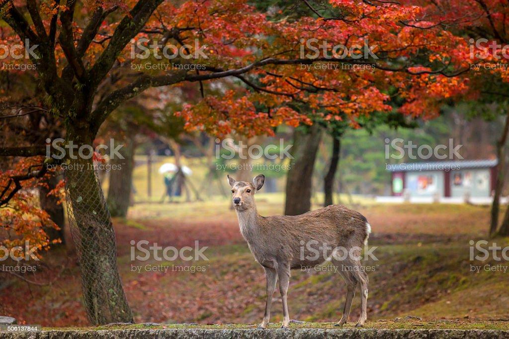 Deer in Nara Park stock photo