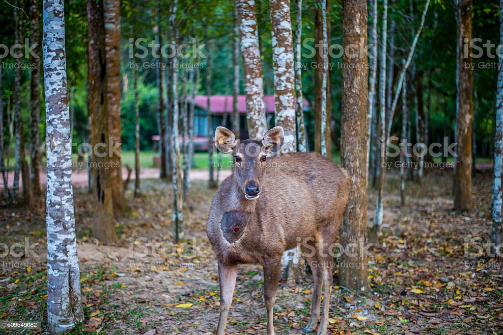 Deer in natural at  Khao Yai National Park, Thailand stock photo