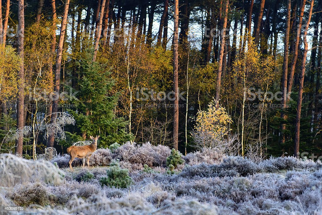 Deer in nature royalty-free stock photo