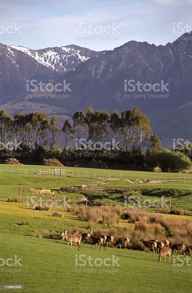 Deer in New Zealand stock photo