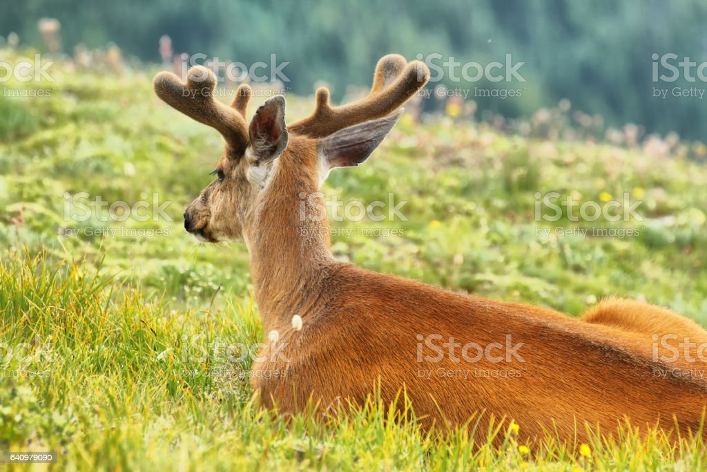 Deer in Olympic National Park, WA, USA stock photo