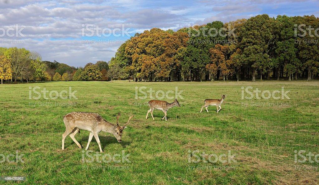 Deer in Phoenix Park royalty-free stock photo