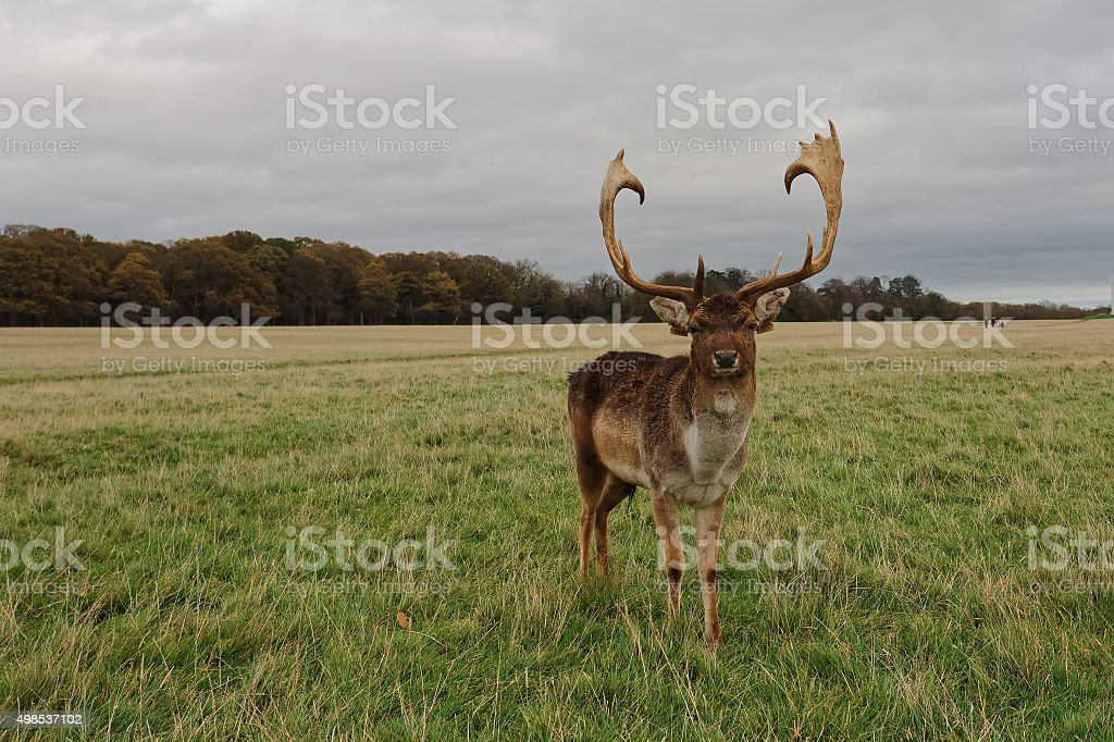 Deer in Phoenix Park royalty-free stock photo