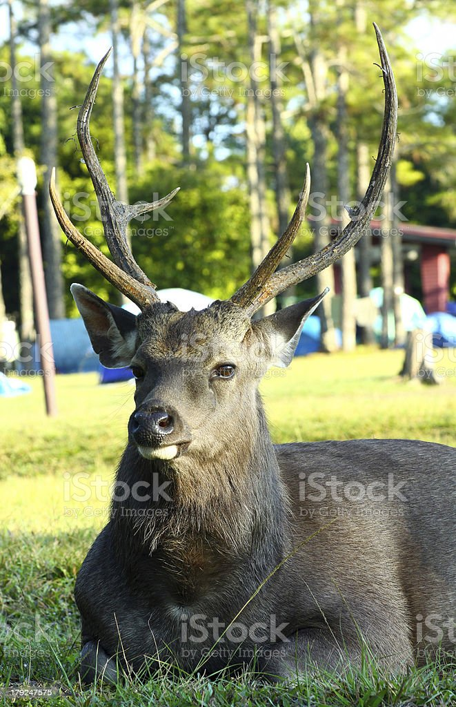 Deer in Pine Forest royalty-free stock photo