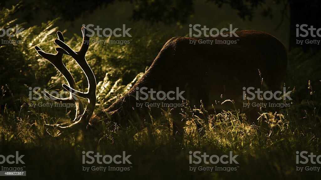 Deer in Richmond Park stock photo