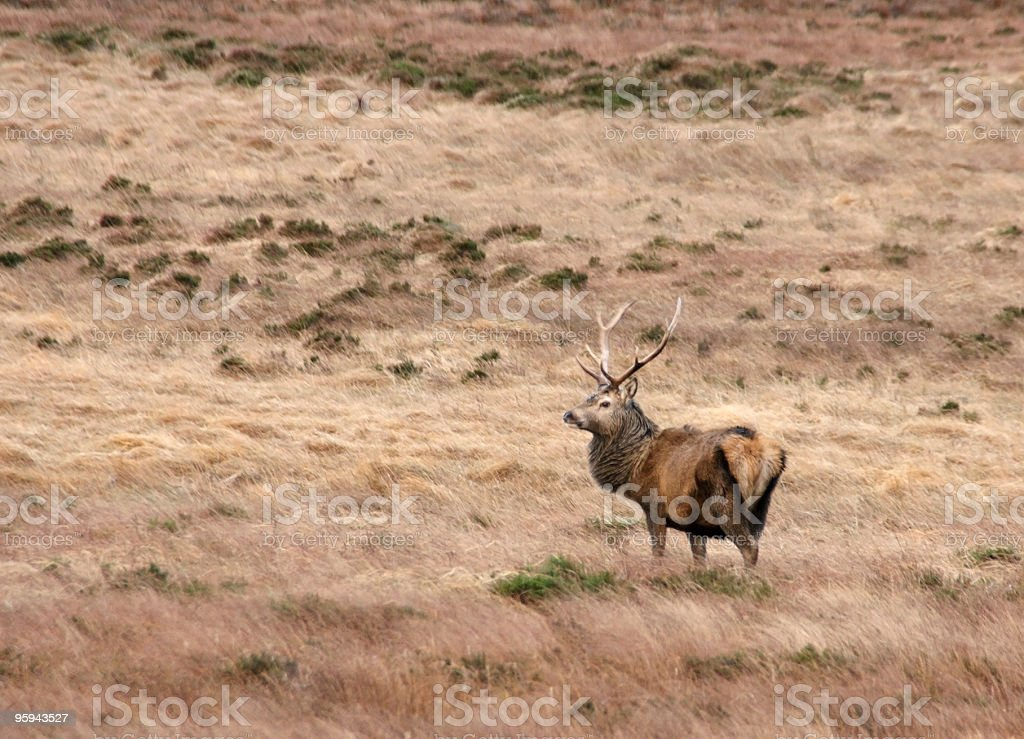 Deer in Scotland royalty-free stock photo