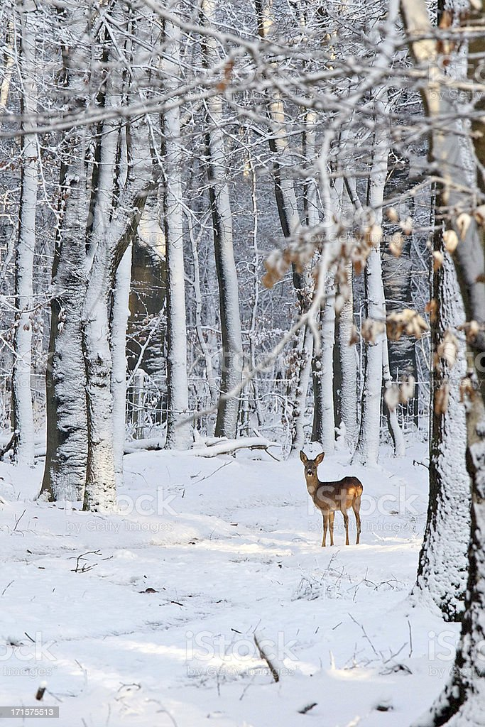 Deer in snow-covered forest stock photo