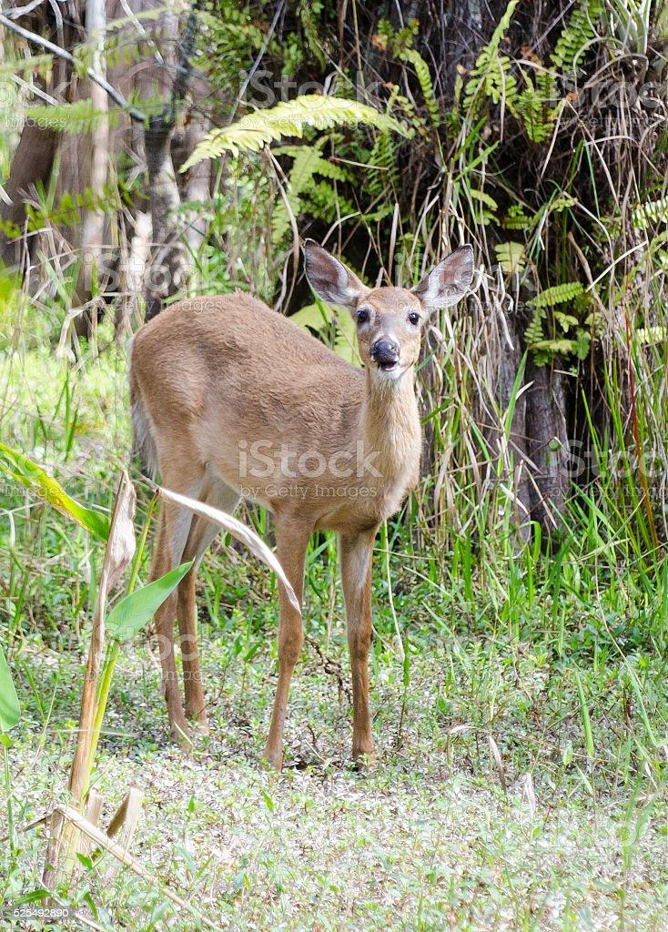 Deer in swamp stock photo