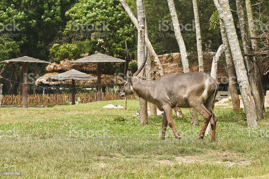 deer in thailand royalty-free stock photo