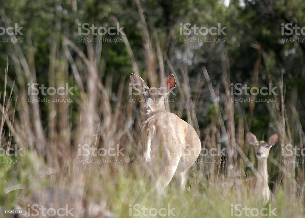 Deer in the field stock photo