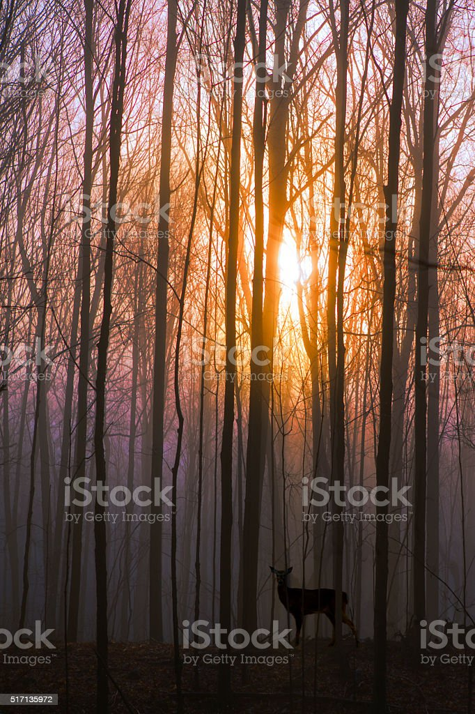 Deer in the Forest at Sunrise stock photo