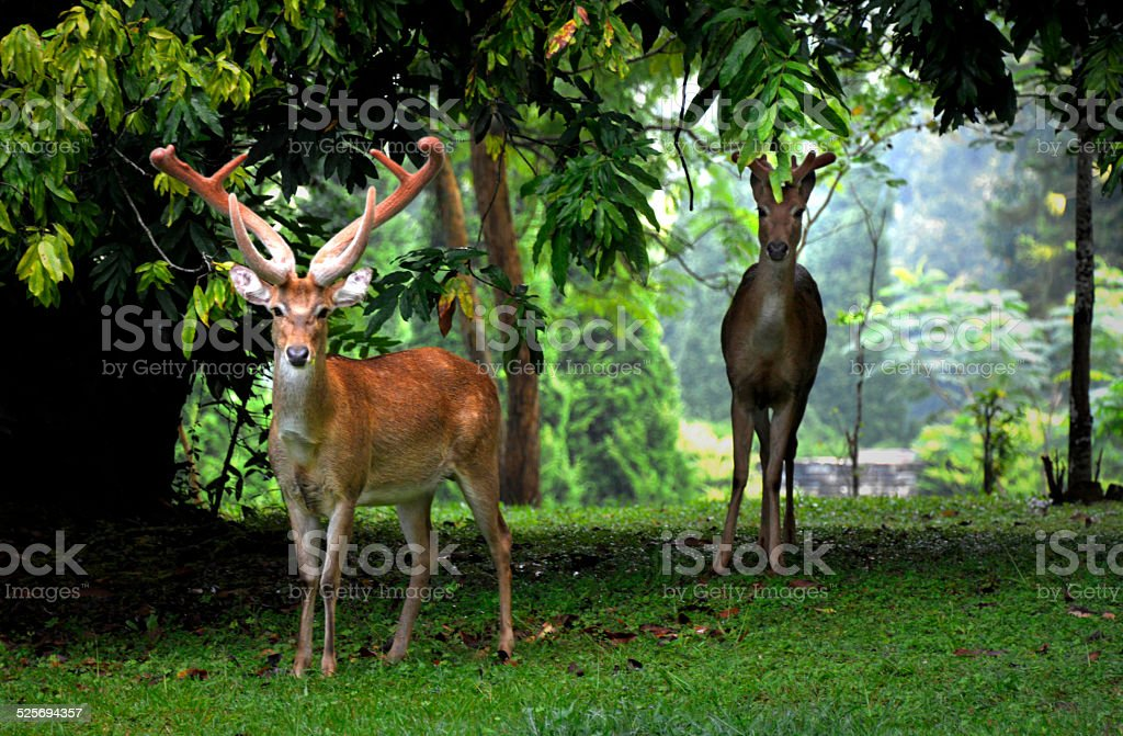 Deer in the Forest royalty-free stock photo