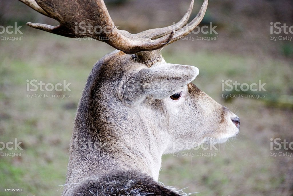 deer in the forst royalty-free stock photo