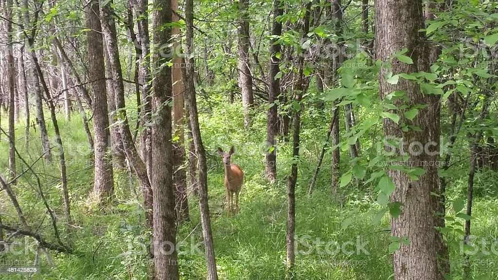 Deer in the Grassy Forest Woods, Saratoga, New York stock photo