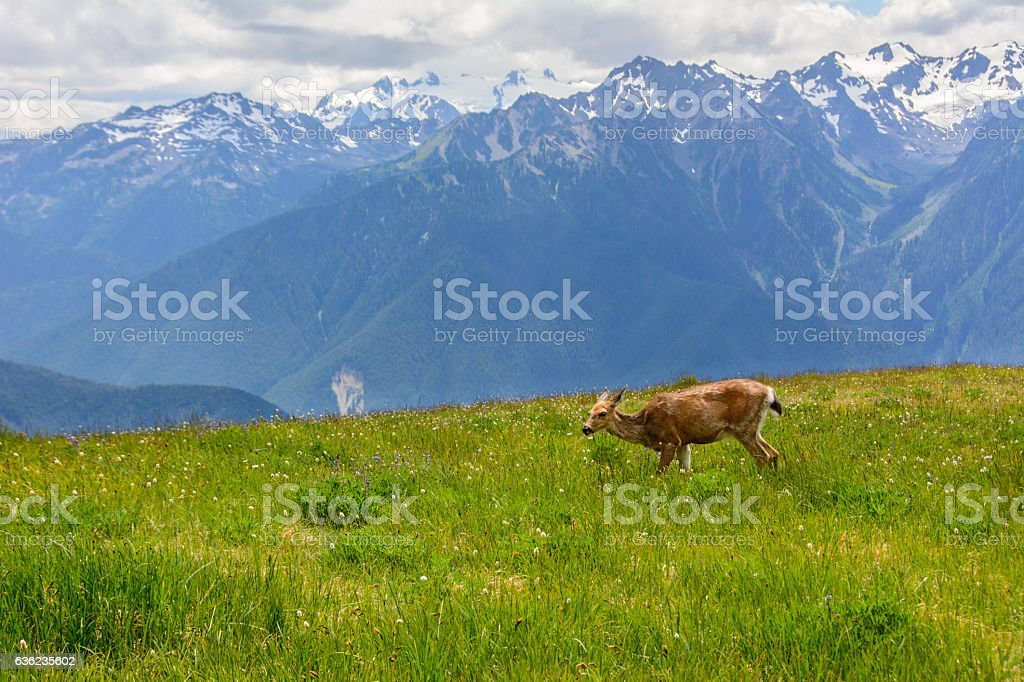 Deer in the meadow in mountains, Olympic National Park, Washington, USA stock photo