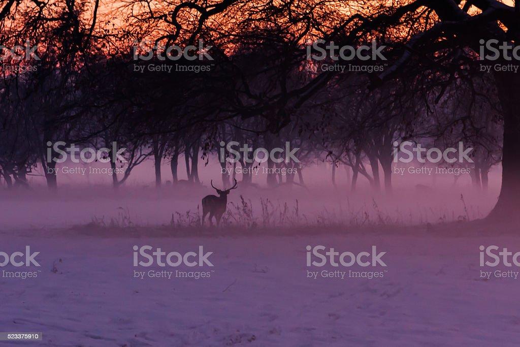 Deer in the misty Phoenix park stock photo