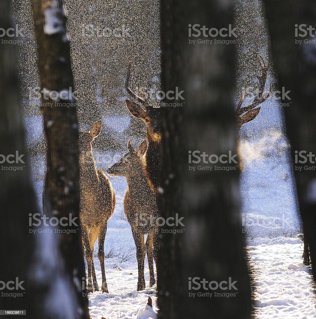 Deer in the snow stock photo