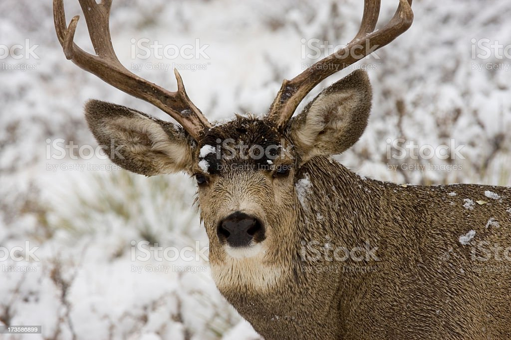 Deer in the Snowy Woods royalty-free stock photo