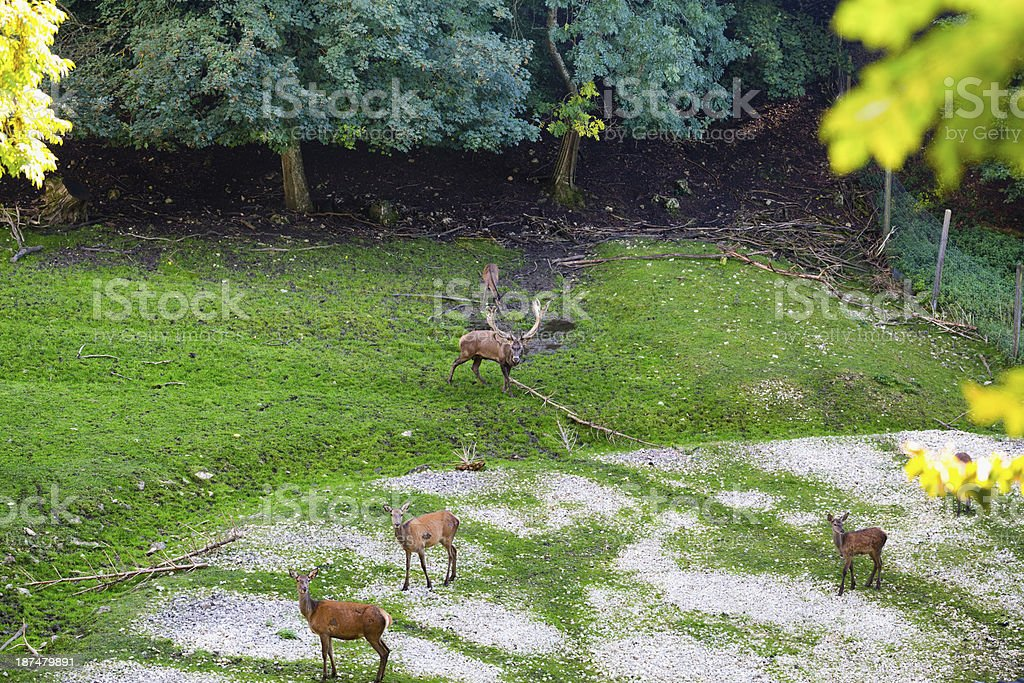 Deer in the wood royalty-free stock photo